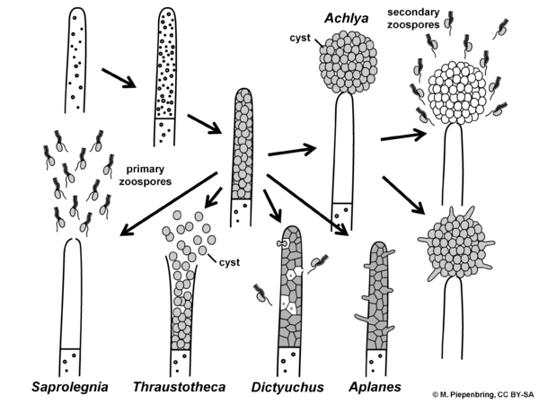 Asexual structures, Saprolegniales, Oomycota (diagram by M. Piepenbring)