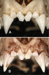Figure 8. Anterior views of the upper incisors and canines in Sturnira bakeri (A, QCAZ 14635 ♀) and Sturnira burtonlimi (B, ROM 104294 ♂) illustrating taxonomic differences in the number of cuspids of the upper inner incisor (I1). In Sturnira bakeri the I1 is bicuspidate. In Sturnira burtonlimi, however, the I1 is unicuspidate.