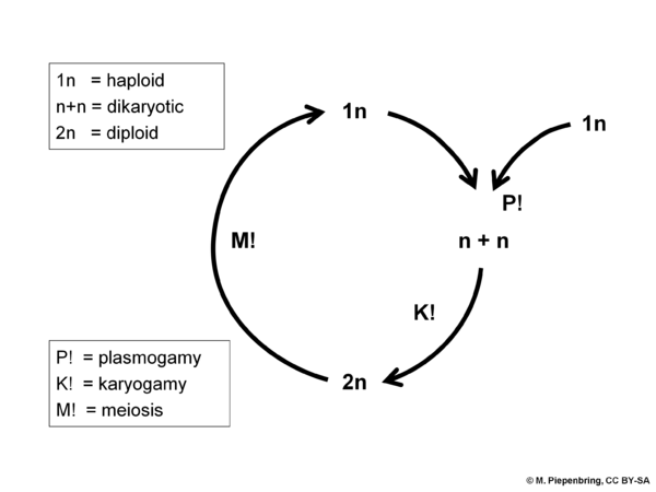 Life cycle with dikaryotic stage, Ascomycota Basidiomycota (diagram by M. Piepenbring)