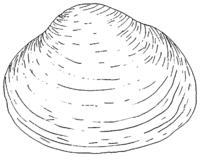 Kugelmuschel (Sphaerium)