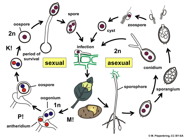 Life cycle, Phytophthora infestans on potato, Peronosporales, Oomycota (diagram by M. Piepenbring)