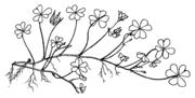 Abb. 3: Oxalis repens – Pflanze, Abbildungen nach Holub (1997), verändert und ergänzt.