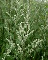 Artemisia vulgaris by Danny S. - 001.jpg