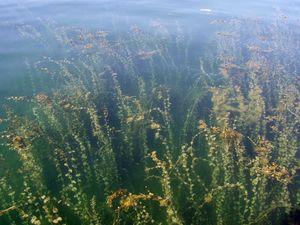 Dienst 2010 Bodensee-Makrophyten Potamogeton perfoliatus.jpeg