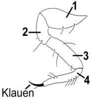 Laufbeine 4-gliedrig