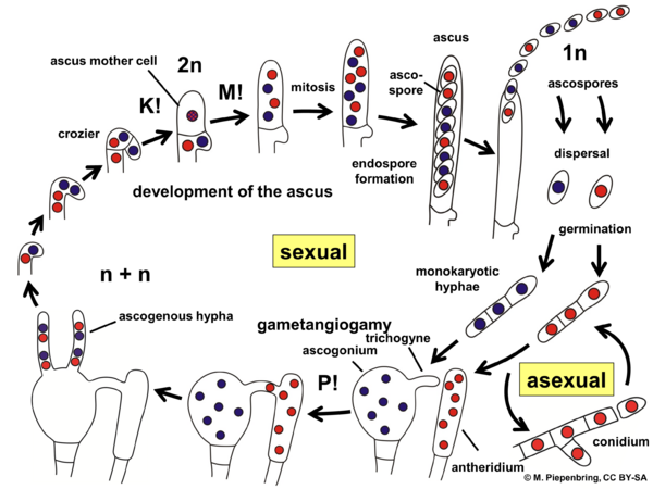 Life cycle Ascomycota, ascus (diagram by M. Piepenbring)