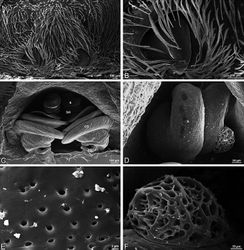 Figure 59. A–F Scanning electron micrographs of epigynum and vulva of Gandanameno sp. A, B from Iringa, Tanzania (ZMUC 19970530, ZMUC) C–F from Kommetjie, Cape Town, South Africa (CASENT 9039241, CAS) A epigynum, ventral view B detail of right copulatory opening, ventral view C cleared vulva, dorsal view D detail of right spermatheca and spermathecal head E detail, right spermatheca F detail, right spermathecal head. CD copulatory duct FD fertilization duct S spermatheca SH spermathecal head.