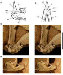 Figure 61. Jaw joints of Heterodontosaurus tucki from the Lower Jurassic Upper Elliot and Clarens formations of South Africa. Dentary symphysis and quadrate-articular jaw joint A Reconstruction of the anterior portion of the right dentary in medial view (based on SAM-PK-K1332) B Reconstruction of the anterior end of the lower jaws in ventral view (based on SAM-PK-K1332) C Stereopair of the right lower jaw joint in lateral view (the lateral edge of the quadrate condyle and articular are broken away exposing the tight jaw articulation) in a subadult skull (AMNH 24000) D Stereopair of the left lower jaw joint in lateral view (the lateral edge of the quadrate condyle is broken away exposing the inclined trough of the jaw articulation) in a subadult skull (AMNH 24000). Scale bar equals 1 cm in C and D. Abbreviations: d  dentary d1, 2 dentary tooth 1, 2 dbo dentary boss fo foramen Mc Meckel's canal pd predentary sym symphysis symt symphyseal trough vp ventral process.