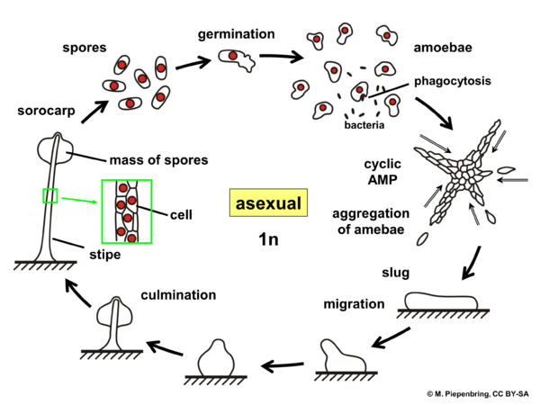 Life cycle, asexual, Dictyostelium sp., Dictyosteliales, Myxomycota (diagram by M. Piepenbring)