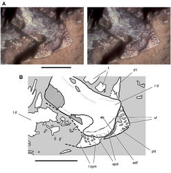 Figure 84. Lower jaw of the heterodontosaurid Pegomastax africanus gen. n. sp. n. from the Lower Jurassic Upper Elliot Formation of South Africa. Predentary and dentaries (SAM-PK-K10488). Stereopair (A) and line drawing (B) of the predentary and anterior portion of the dentaries in ventrolateral view. Hatching indicates broken bone; dashed lines indicate estimated edges; grey tone indicates matrix. Scale bars equal 1 cm. Abbreviations: adf anterior dentary foramen apd articular surface for the predentary d dentary d1 dentary tooth 1 l left pd predentary r right sym symphysis t tooth vf vascular foramen.
