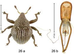 Figure 26. Trigonopterus echinus Riedel, sp. n., holotype; (a) Habitus (b) Aedeagus.