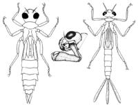 """Larve einer Großlibelle (links), Kleinlibelle (rechts), und Unterlippe der Libellenlarven (""""Fangmaske"""")"""