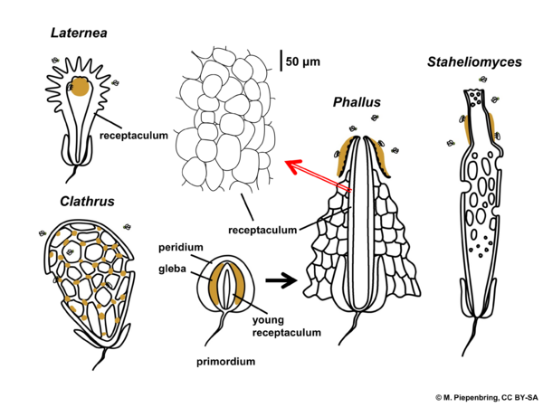 Fruiting bodies of Phallales, gasteromycetes, Basidiomycota (diagram by M. Piepenbring)