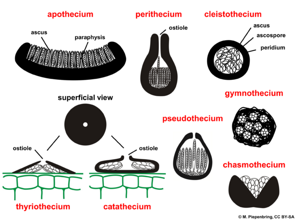 Fruiting bodies, Ascomycota (diagram by M. Piepenbring)