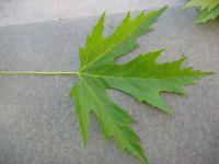 Grüne Blattoberseite