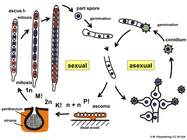 Life cycle, Hypocrea sp., Hypocreales, Ascomycota (diagram by M. Piepenbring)