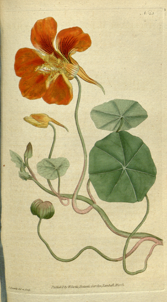 File:The Botanical Magazine, Plate 23 (Volume 1, 1787).png