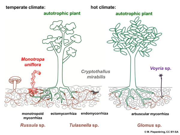 C 6b Monotropa uniflora, mycoheterotrophic (erroneously called saprotrophic) plant with its fungus in the habitat (diagram by M. Piepenbring)