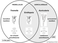 03 02 27 classification of Auriculariales and Tremellales, Basidiomycota (M. Piepenbring).png