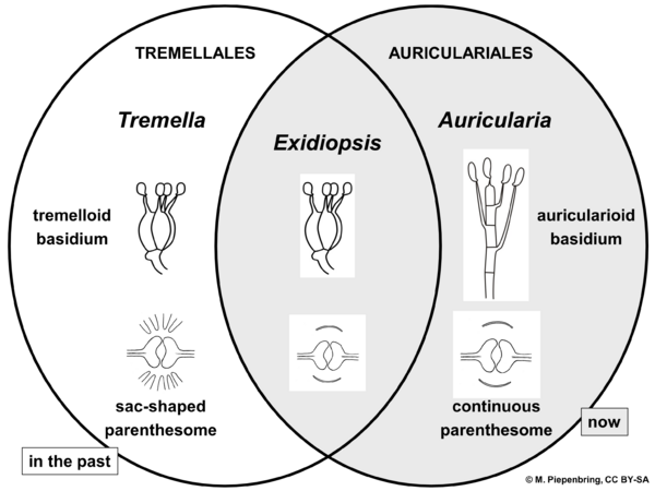 Classification of Auriculariales and Tremellales, Basidiomycota (diagram by M. Piepenbring)