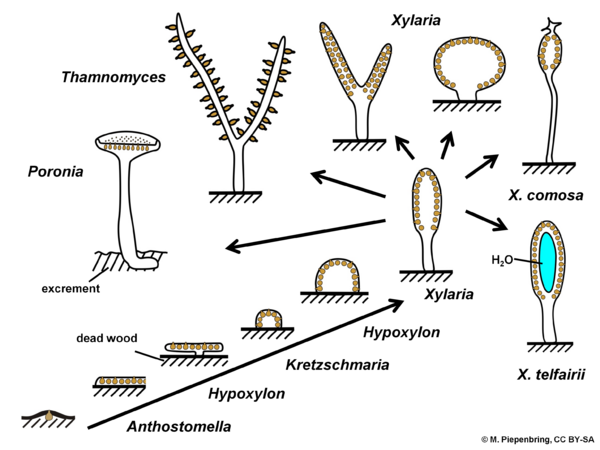 Fruiting bodies, Xylariales, Ascomycota (diagram by M. Piepenbring)