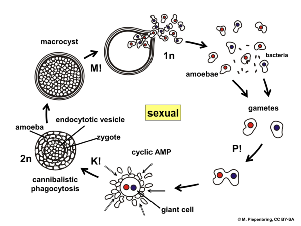 Life cycle, sexual, Dictyostelium sp., Dictyosteliales, Myxomycota (diagram by M. Piepenbring)