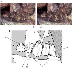 Figure 86. Dentary teeth of the heterodontosaurid Pegomastax africanus gen. n. sp. n. from the Lower Jurassic Upper Elliot Formation of South Africa. Posterior dentary teeth (SAM-PK-K10488). Stereopair (A) and line drawing (B) of left dentary teeth 7-11 in medial view. Hatching indicates broken bone; tone indicates matrix. Scale bars equal 5 mm. Abbreviations: be buccal emargination d dentary d7, 11 dentary tooth 7, 11 l left pri primary ridge rt replacement tooth.