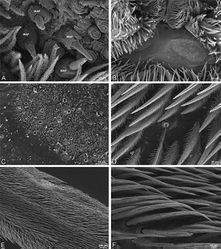 Figure 25. A–F Adonea fimbriata, scanning electron micrographs. A–C male from Algeria-Morocco (MR012, MR) D–F female from Mehav Am village, Israel (MR003, MR) A–C spinnerets and vestigial cribellum. D–F legs of female A detail of spigots on right male ALS B vestigial cribellum C detail of vestigial cribellum D trichobothrium, left metatarsus I E calamistrum, right metatarsus IV F detail, calamistrum seta, right metatarsus IV. MAP major ampullate gland spigot.