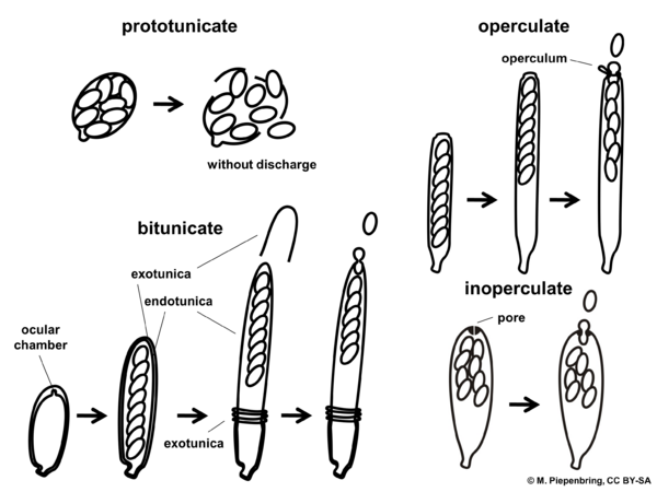 Types of asci, Ascomycota (diagram by M. Piepenbring)