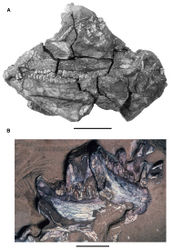 Figure 5. More recent heterodontosaurid discoveries from southern Africa. A Partial skull of Abrictosaurus consors in left lateral view (NHMUK RU B54) B Lower jaws of Pegomastax africanus gen. n. sp. n. (SAM-PK-K10488) in right ventrolateral view. Scale bars equal 2 cm in A and 1 cm in B.