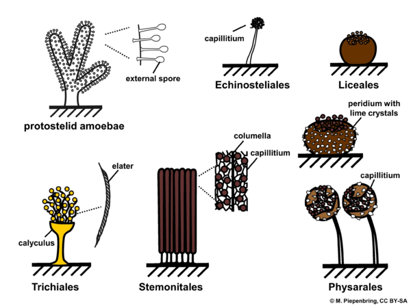 Morphological concepts, orders of Myxomycota (diagram by M. Piepenbring)