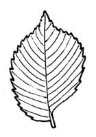 Simple toothed leaf JR Press glossary 7.jpg