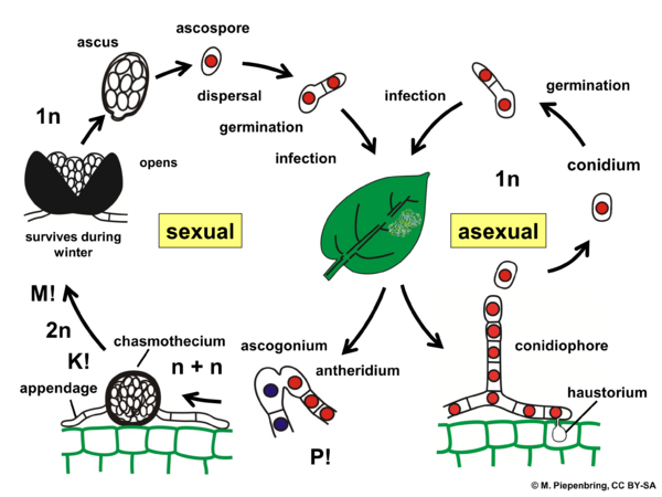 Life cycle, Erysiphales, Ascomycota (diagram by M. Piepenbring)