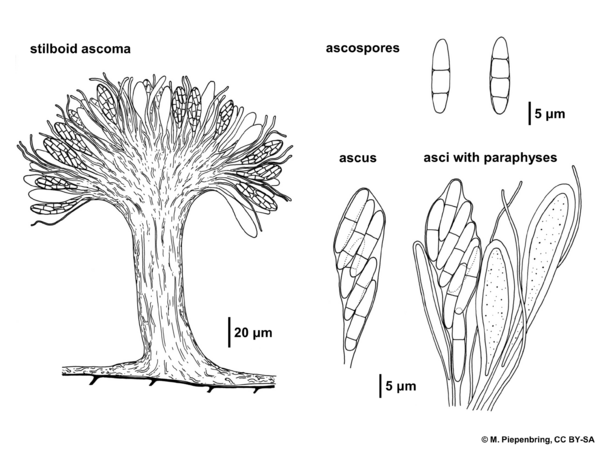 Stilboid fungus, Helotiales, Ascomycota (diagram by M. Piepenbring)