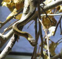 "Äskulapnatter mit blassgelben Flecken an den Kopfseiten (Bild: ""Cymothoa exigua"")"