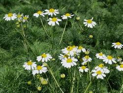 Geruchlose Kamille: Pflanze– AnRo0002, CC0
