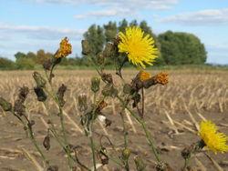 Acker-Gänsedistel: Blüte– AnRo0002, CC0