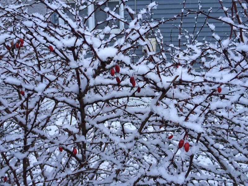 Fichier:2016-01-17 16 48 31 A light wet snowfall on a barberry bush along Terrace Boulevard in Ewing, New Jersey.jpg
