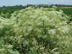 Sichelmöhre: Pflanze– AnRo0002, CC0 1.0