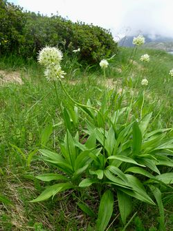 alt=Description de l'image ALLIUM VICTORIALIS - GENTO - IB-888 (All victorial).JPG.