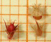 Abb. 4 Amaranthus caudatus, Frucht (Bild: Ulf Schmitz)