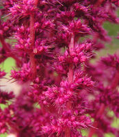 Amaranthus hypochondriacus, Garten Uni (Bild: Ulf Schmitz)