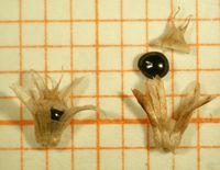 Abb. 13 Amaranthus retroflexus, Frucht (Bild: Ulf Schmitz)