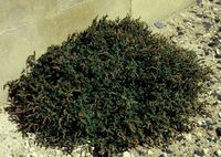 Amaranthus deflexus, Port St Foy Garonne (Bild: Rolf Wißkirchen)