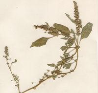 Abb. 24 Amaranthus deflexus, Herbarium (Bild: Ulf Schmitz)