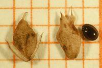 Abb. 25 Amaranthus deflexus, Frucht (Bild: Ulf Schmitz)