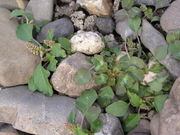 Abb. 26 Amaranthus blitum subsp. blitum, Du-Beeckerwerth (Bild: Ulf Schmitz)