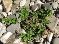 Amaranthus blitum subsp. emarginatus var. emarginatus, Himmelgeist (Bild: Ulf Schmitz)