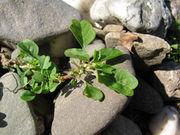 Abb. 30 Amaranthus blitum subsp. emarginatus var. emarginatus, Himmelgeist (Bild: Ulf Schmitz)
