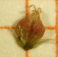 Abb. 39 Amaranthus albus, Frucht (Bild: Ulf Schmitz)